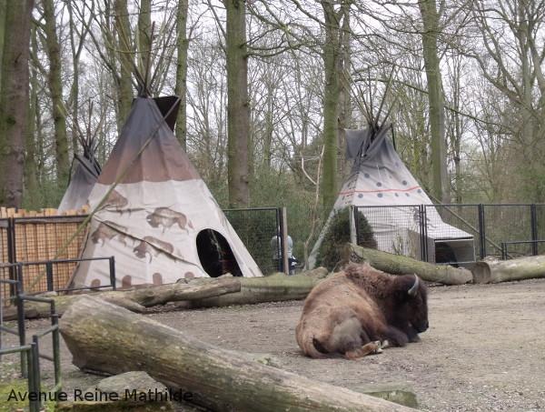 planckendael bison Amérique