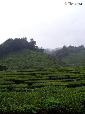 Plantation de thé dans les Cameron Highlands