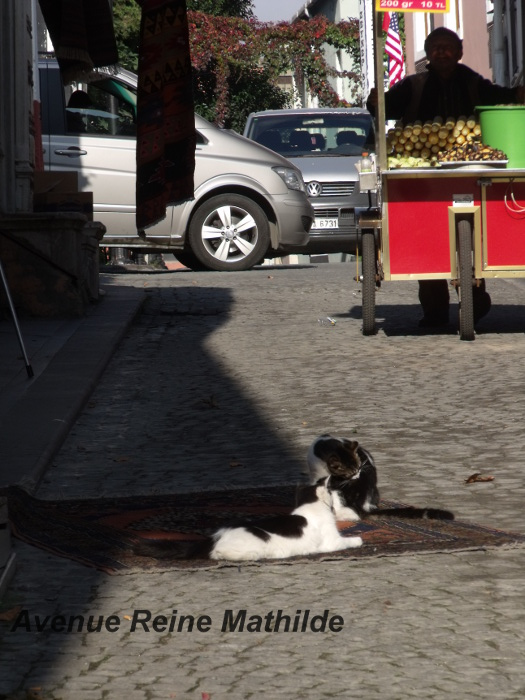 chats d'istanbul (4)