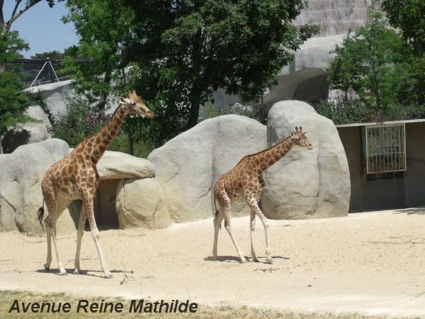 L'enclos des girafes - zoo de Vincennes, juin 2014