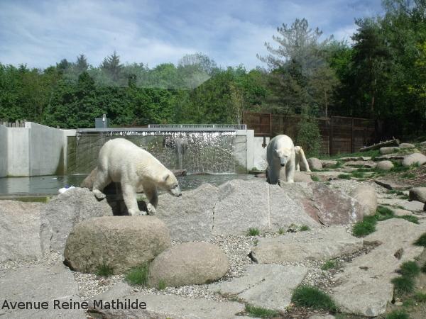 Les ours blancs du parc zoologique de Mulhouse
