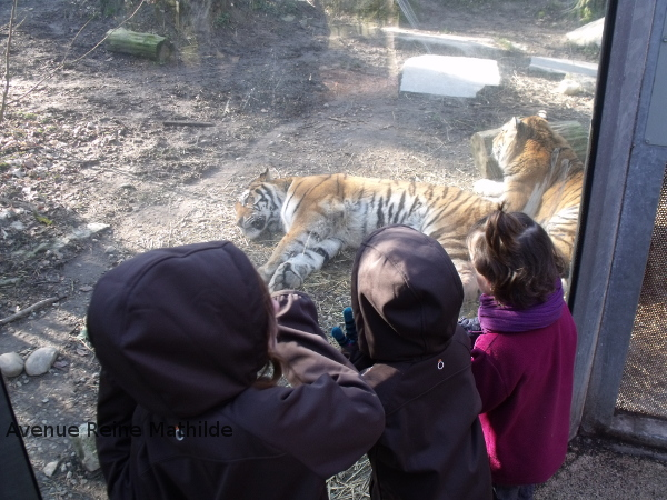 zoo mulhouse tigre