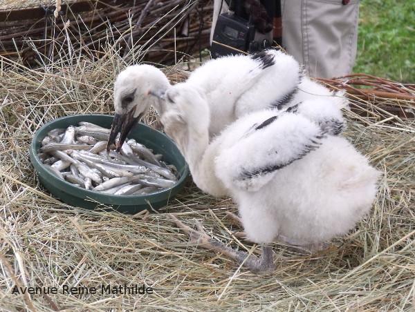 Hunawihr repas des bébés cigognes