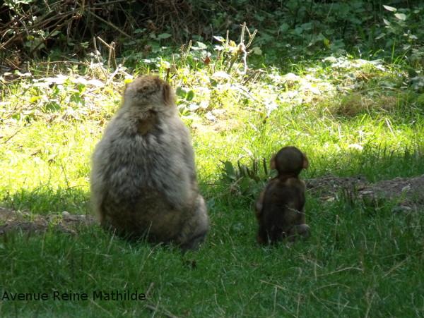 montagne-des-singes-voir-les-magots