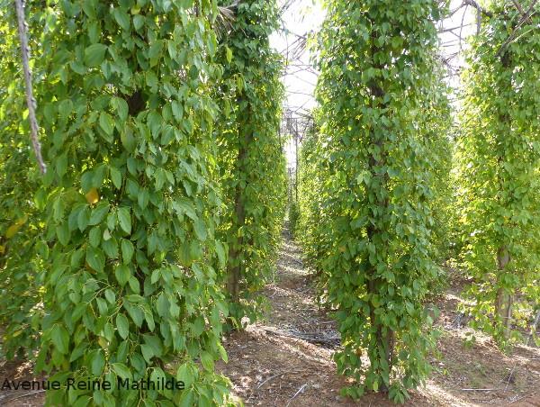 Visiter une plantation de poivre à Kampot - Avenue Reine ...